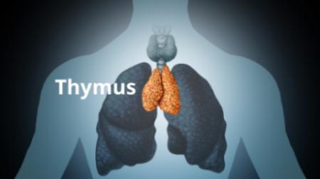 Thymus T lymphozyten Homöopathie Yuen Methode